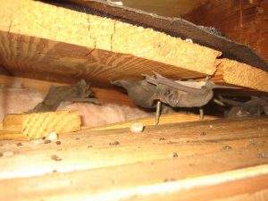 Indianapolis Bat Removal And Prevention