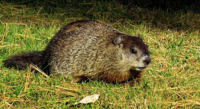 professional groundhog removal indianapolis
